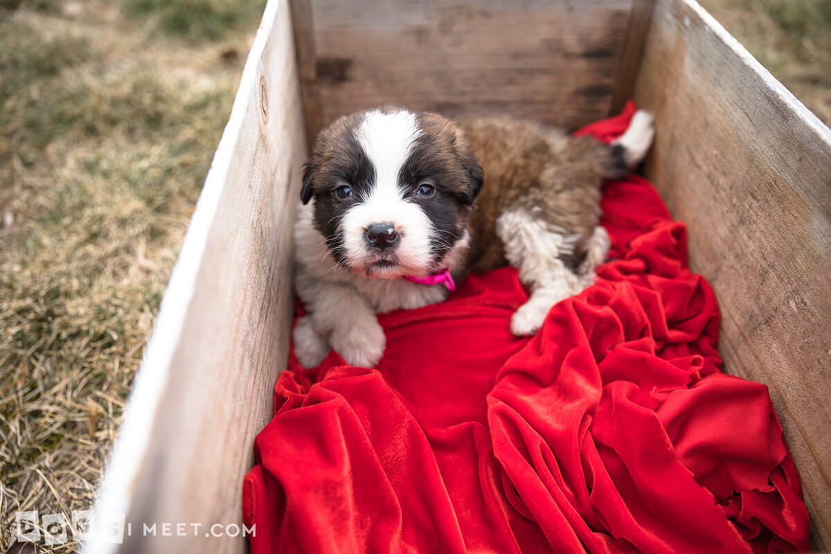 Bryar-Saint-bernard-rescue-pup