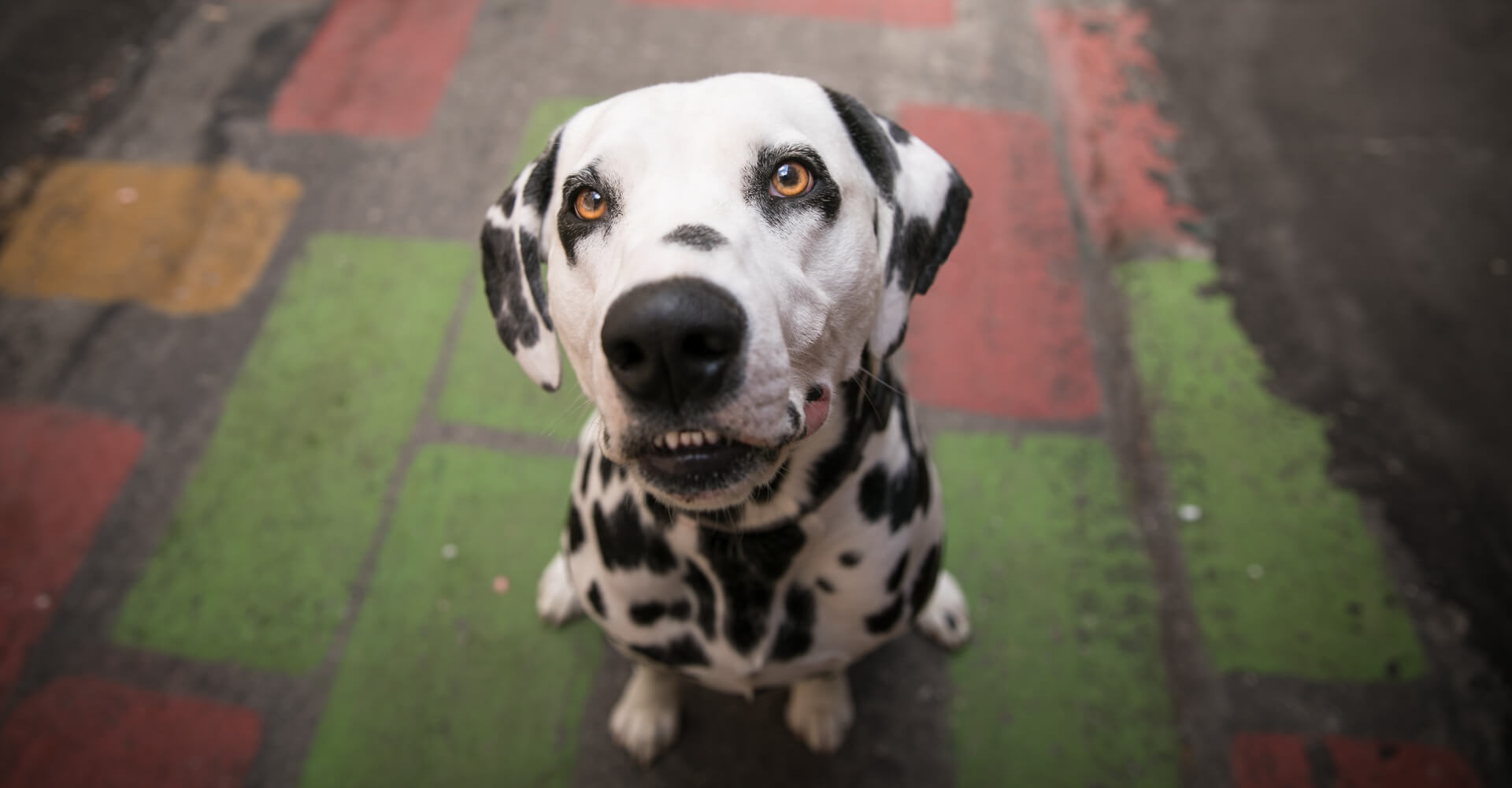 boston dog photographer captures smiling dalmation dog