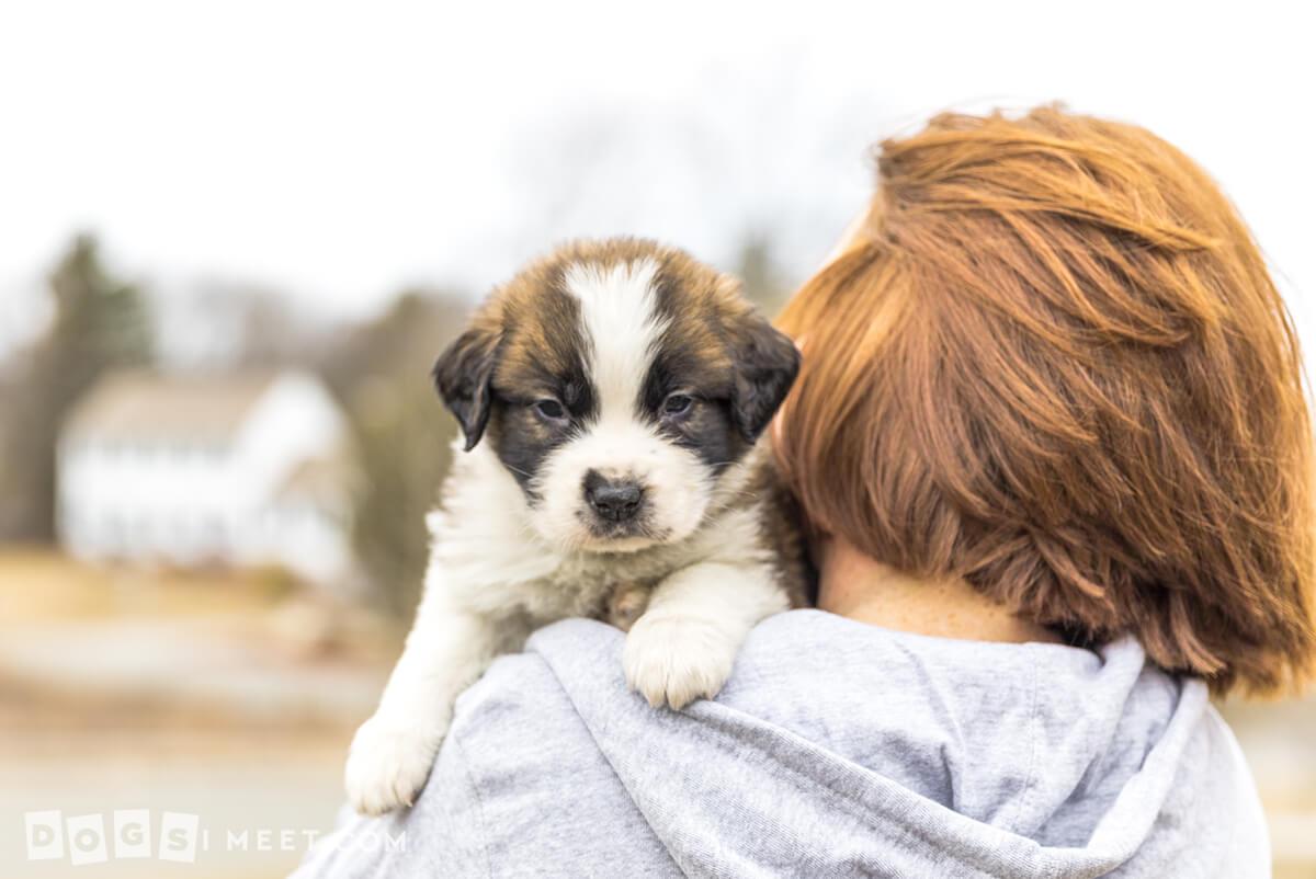 Douglas-Saint-Bernard-puppy