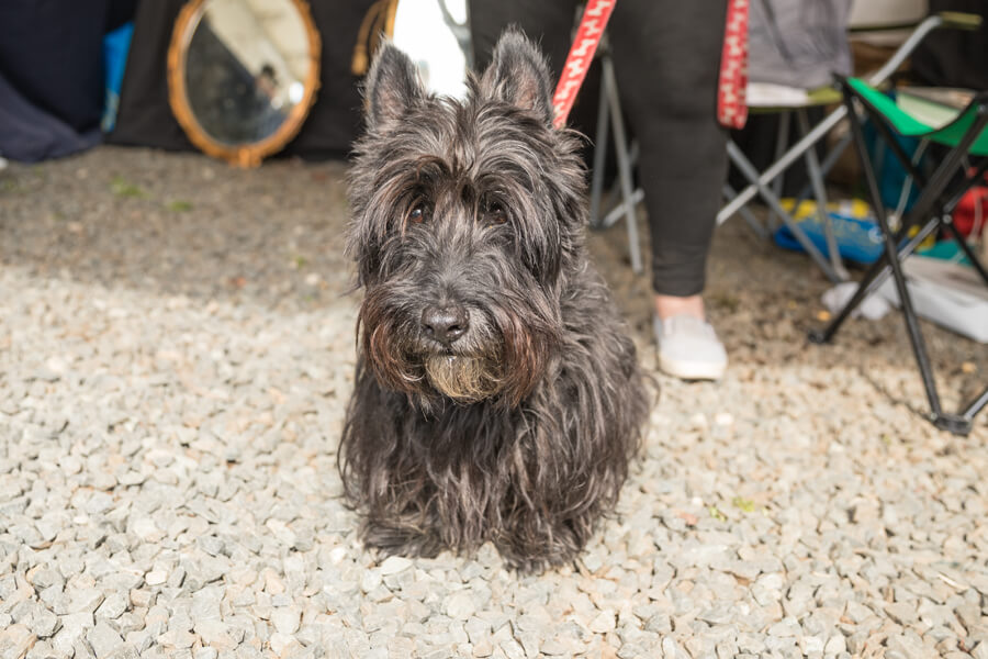 Jamie Scottish Terrier