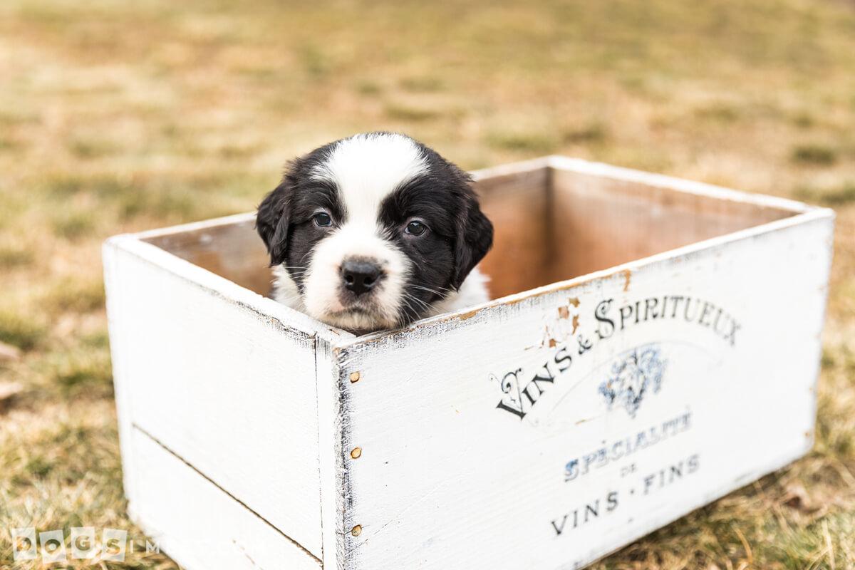 Jessie-Saint-Bernard-rescue-pup-11090-2