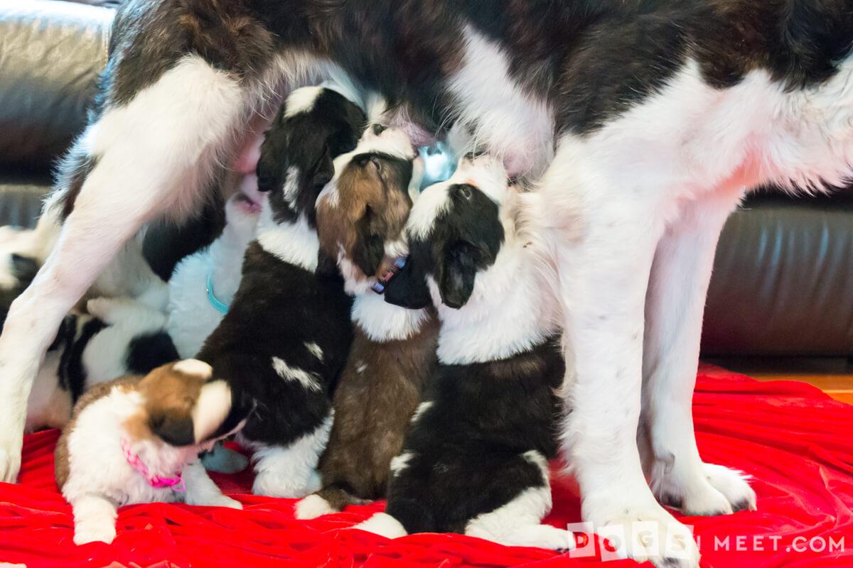 Mama-and-babies-nursing-Saint-Bernard