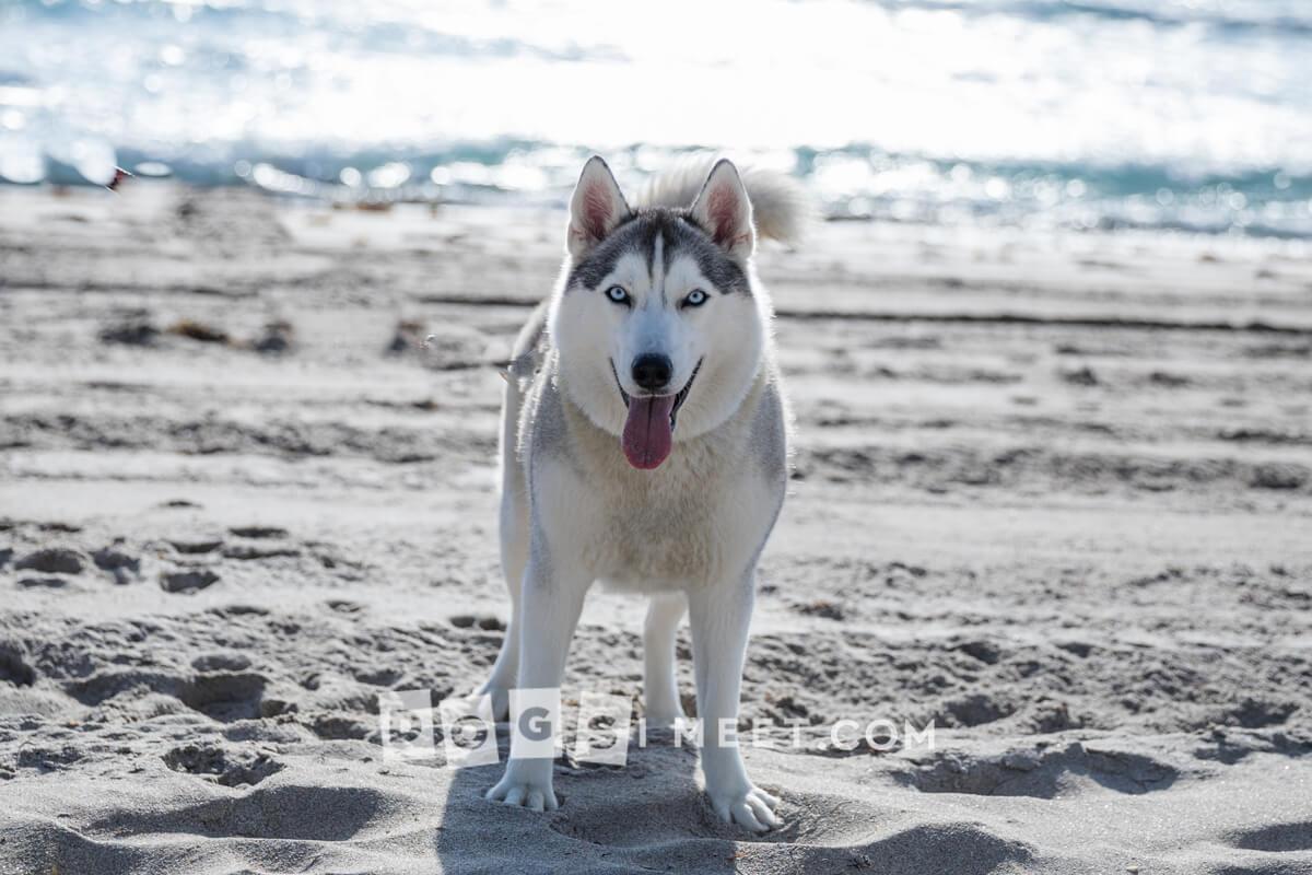 McKenna 2yo Siberian Husky Highland Beach Florida 1