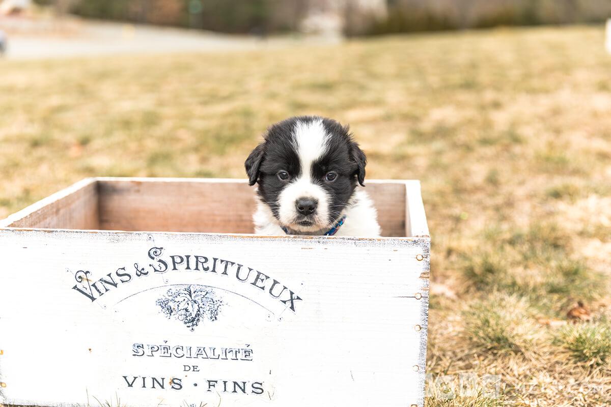 Monty-Saint-Bernard-pup
