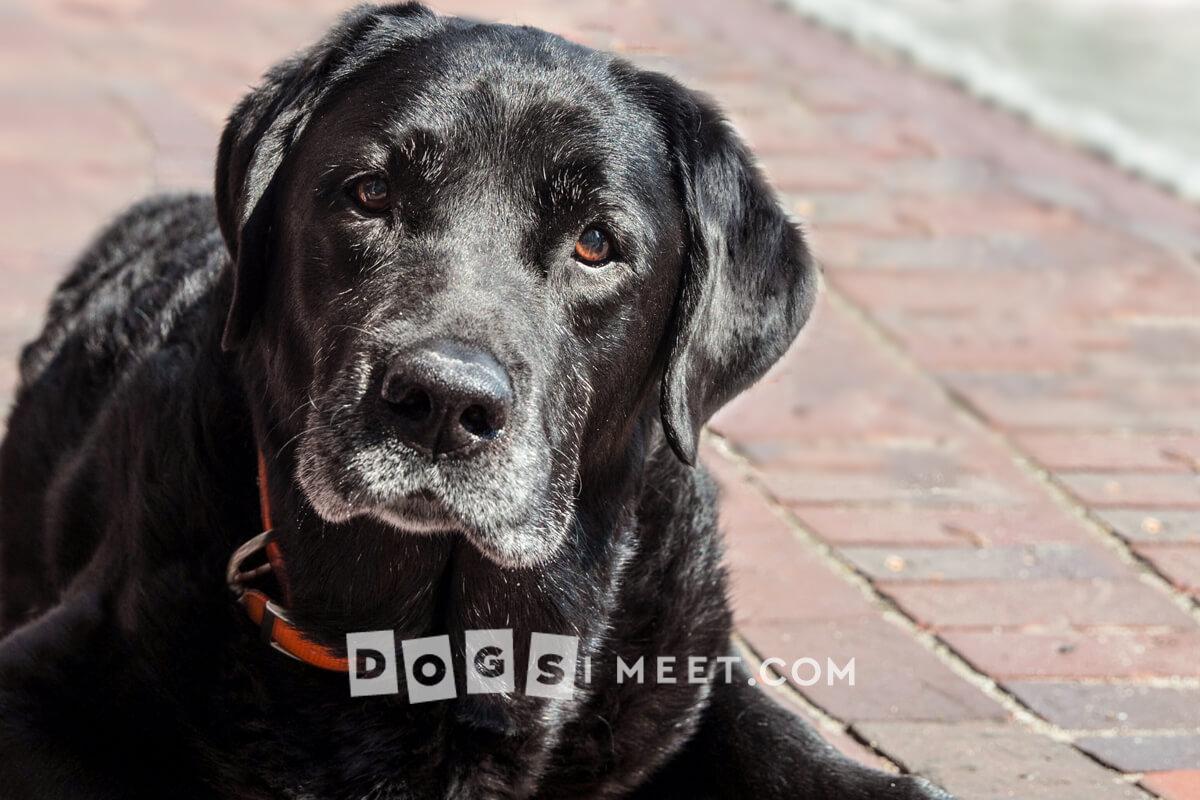 Dog Photography Labrador Maine