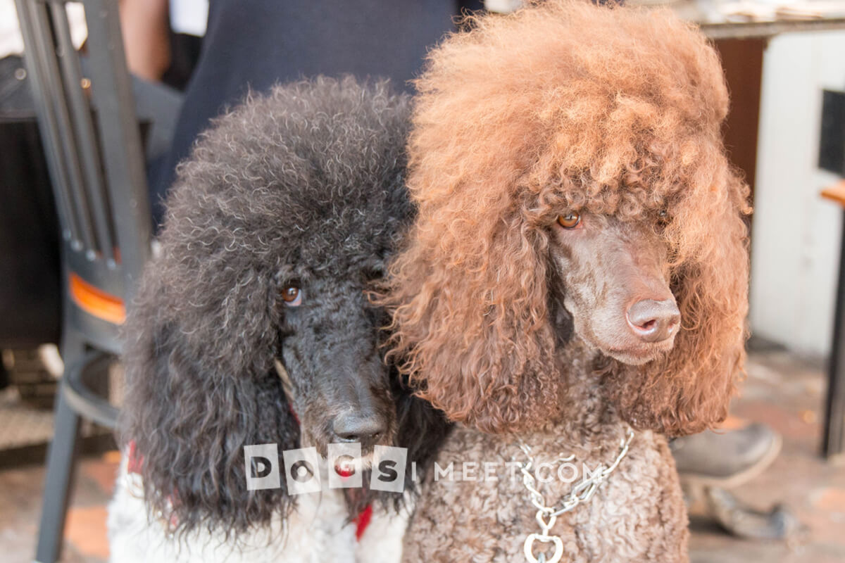 Dog photography Poodles New Orleans