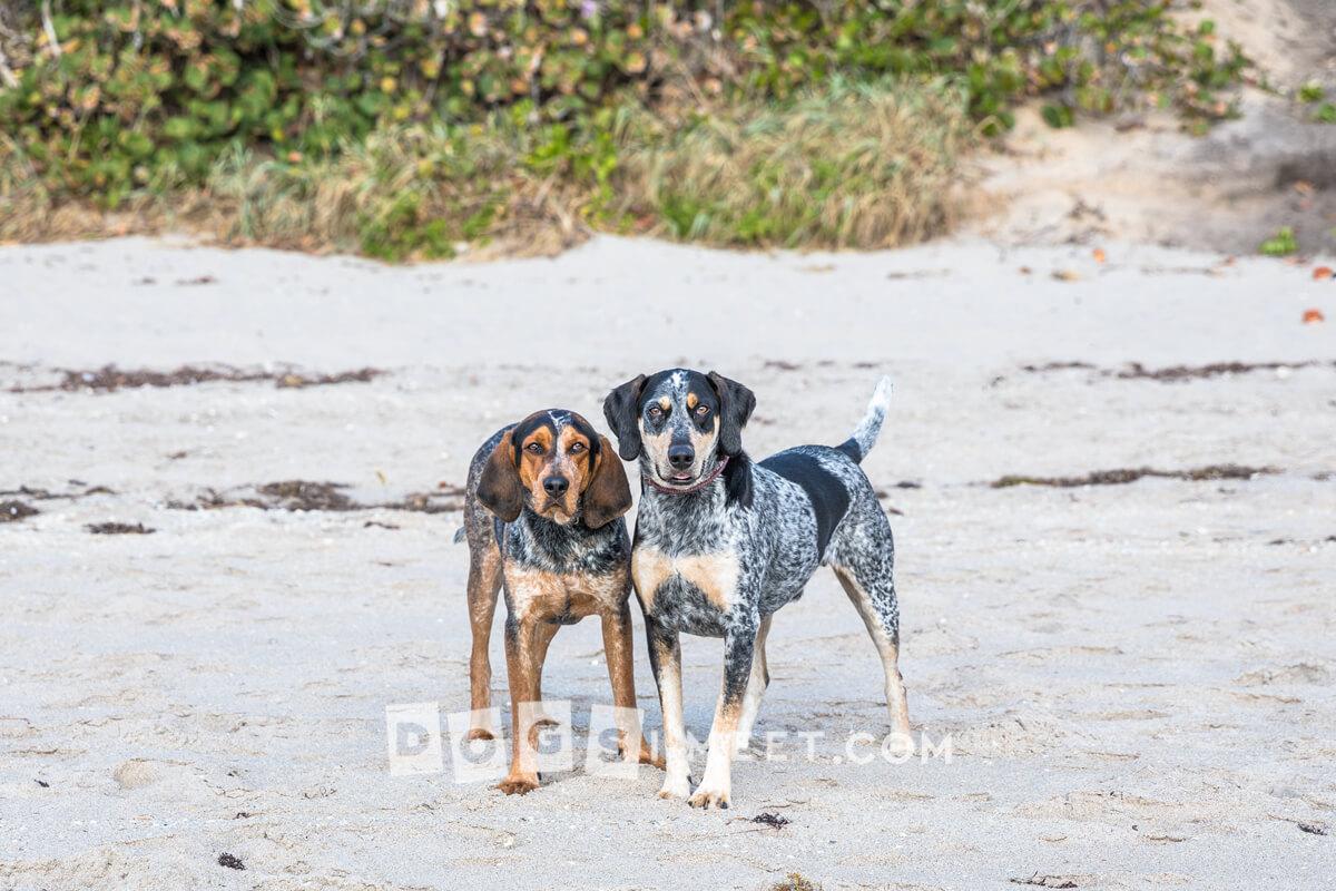 Ranger 3yo Rile 2yo Blue Tick Coon Hound Florida