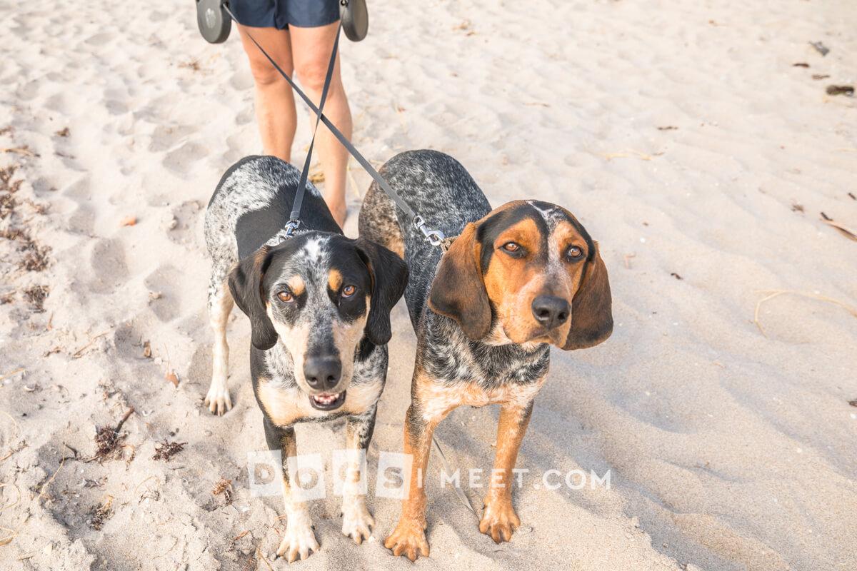 Ranger 3yo Riley 2yo Blue Tick Coon Hound Highland Beach Florida