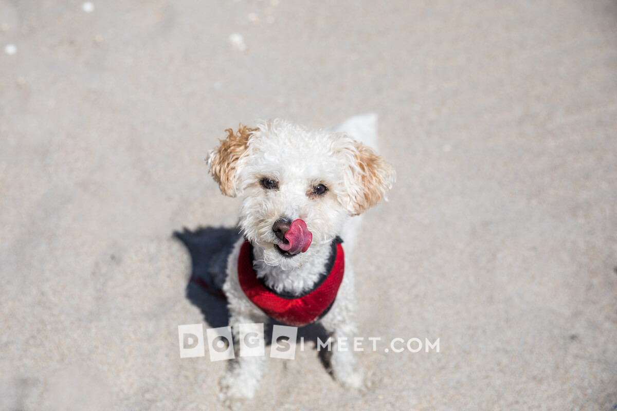 Savannah 2yo Bichon Poodle Highland Beach