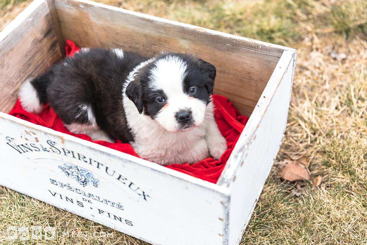 Shiloh-Saint-Bernard-rescued-pup
