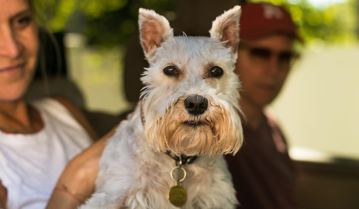 Dog Photoshoot Schnauzer