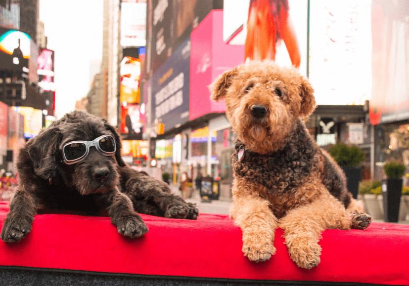Dog Photoshoot Times Square