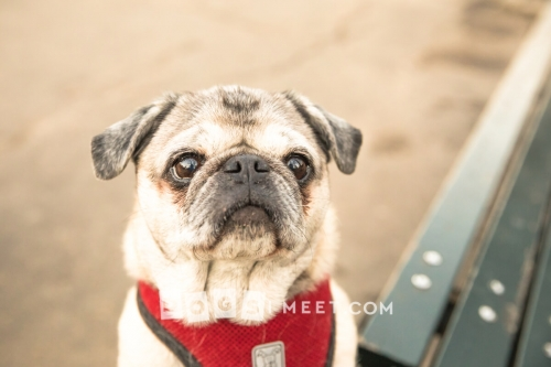 Chezabel-Pug-10years