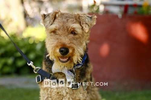 Dougal Welsh Terrier Woodstock
