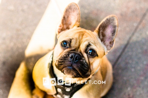 Frankie 7mo French Bulldog
