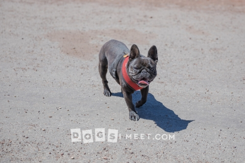 French BullDog Bernal Heights
