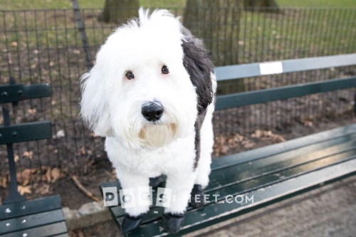 Kylo-Sheepadoodle-2years