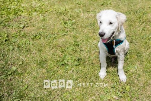Labrador Woofstock