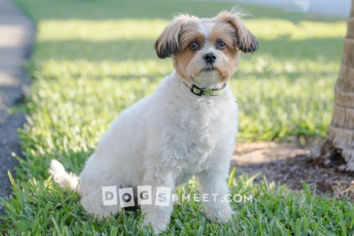 Lily Havanese Bichon Mix 12yo Highland Beach Florida