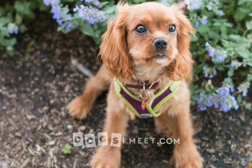 Maggie King Charles Cavalier Chestnut Hill MA June 2017