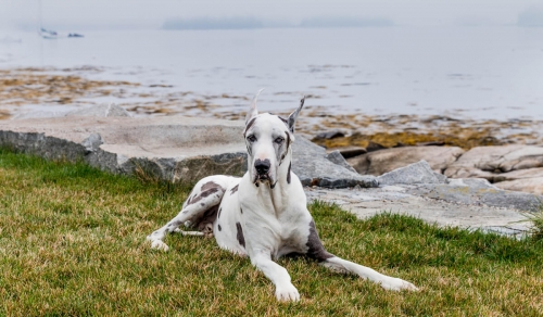 Magoo-GreatDane-Maine