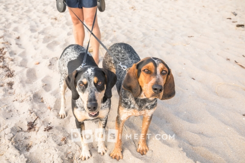 Ranger 3yo Riley 2yo Blue Tick Coon Hound Highland Beach Florida