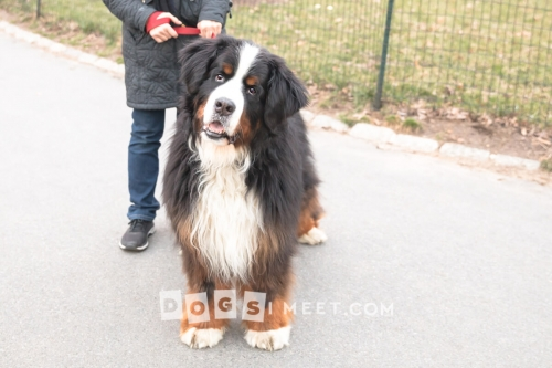 Rocky-BerneseMountainDog-11years