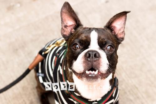 Rudeboy 3yo Boston Terrier
