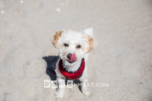 Savannah 2yo Bichon Poodle Highland Beach