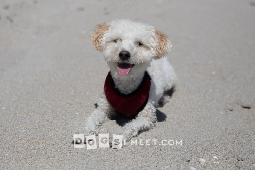 Savannah 2yo Bichon Poodle Highland Beach Florida