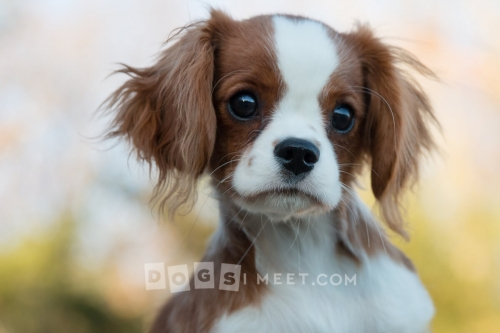 Scout Cavalier King Charles Spaniel