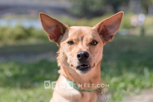 Tiny 2yr Cattledog Chihuahua 2017