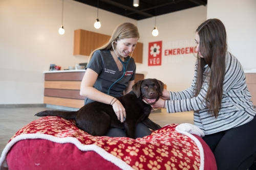 boston-dog-photographer-veterinary-emergency-hospital-chocolate-labrador-puppy-carle-place-ny