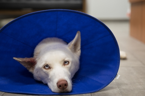 boston-dog-photographer-human-cone-of-shame-veterinary-emergency-hospital-nanuet-ny